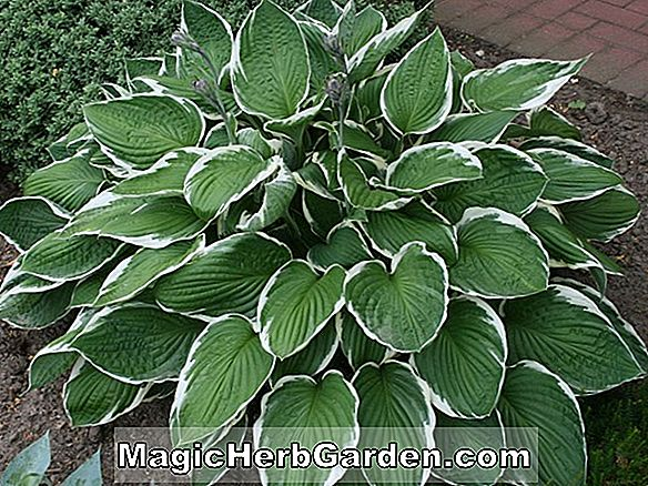 Hosta (Goldene Tiara Hosta)