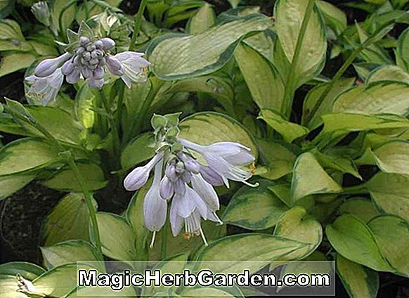 Hosta (Just So Wegerich Lily)