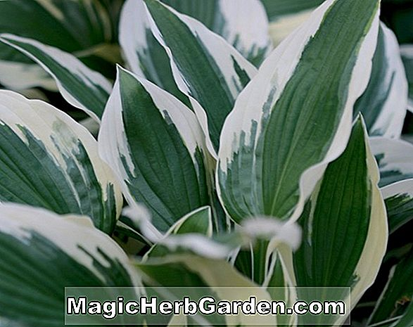 Hosta (Knockout Wegerich Lilie)