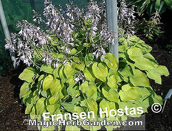 Hosta (Birchwood Parkys Gold Hosta)