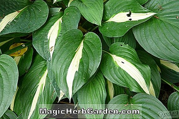 Hosta (Peedee Gold Flash Plantain Lilie)