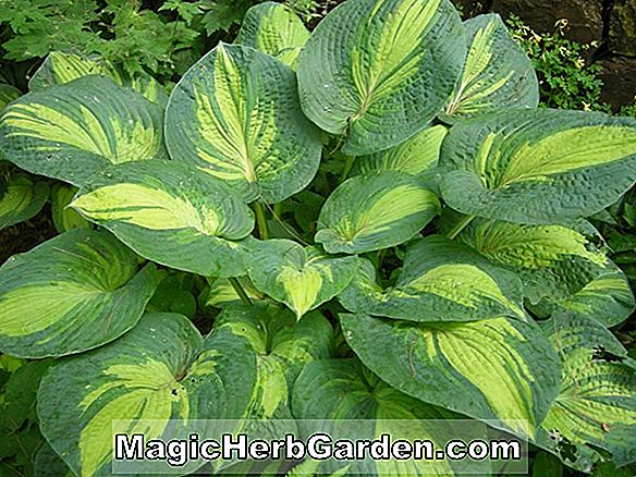 Hosta (Wind Fluss Gold Wegerich Lilie)