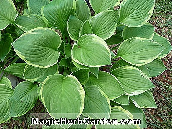 Hosta (Zounds Hosta)