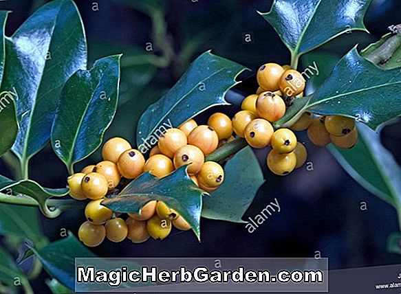 Ilex aquifolium (Pyramidalis Fructu Luteo English Holly) - #2