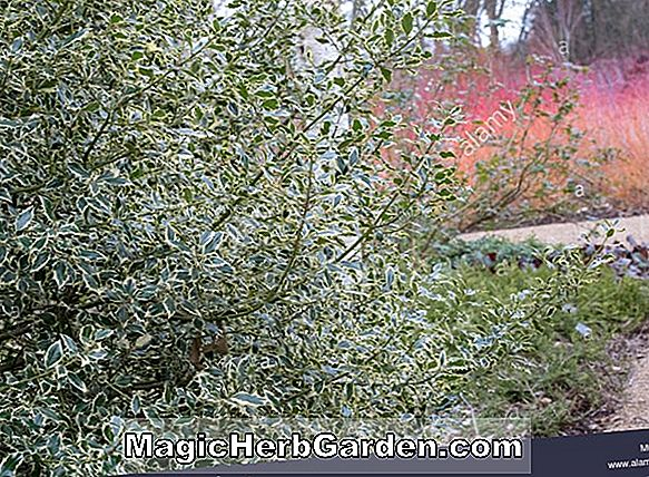 Ilex aquifolium (Madame Briot Englisch Holly)