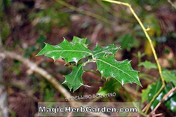 Ilex aquifolium (San Gabriel English Holly)
