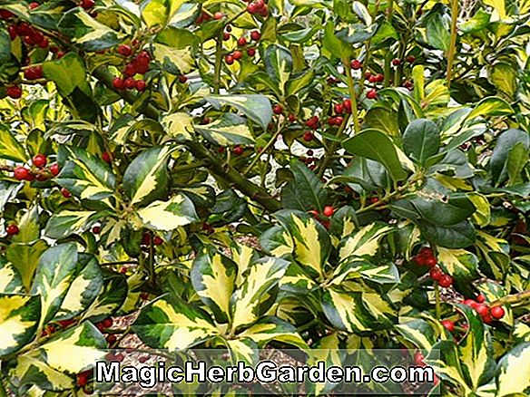 Ilex aquifolium (Beacon Englisch Holly)