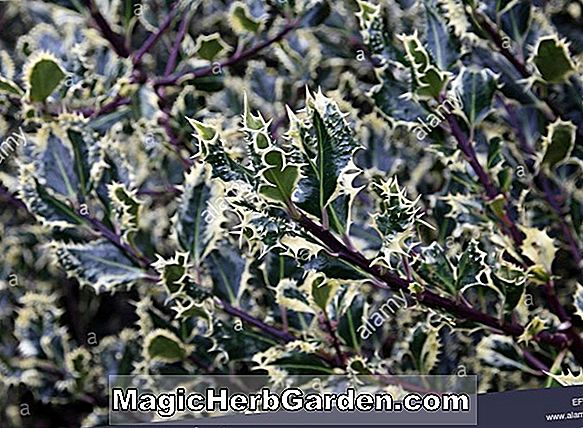 Ilex aquifolium (Gold Coast Holly) - #2