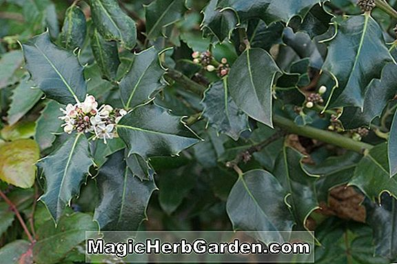 Ilex aquifolium (Lilly Gold Holly) - #2