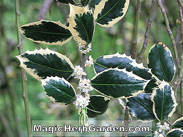 Tumbuhan: Ilex opaca (Christmas Bouquet Holly)