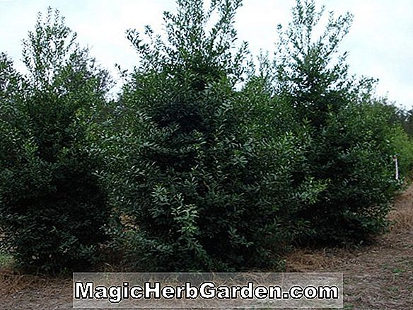 Ilex attenuata (Fay-T Holly)