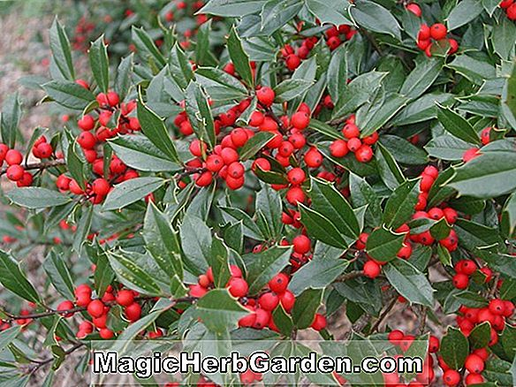 Ilex cornuta (D'Or Holly) - #2