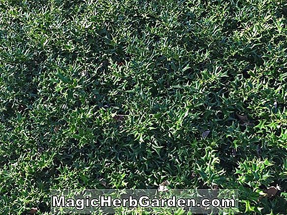 Pflanzen: Ilex cornuta (Rotunda Holly) - #2