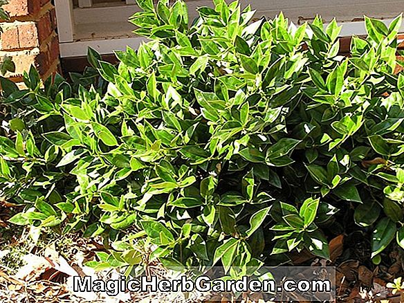 Ilex cornuta (Dr. James Foret Holly) - #2