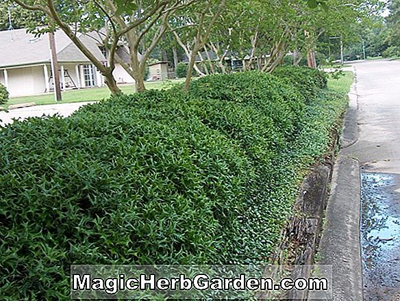 Ilex cornuta (Grandview Holly) - #2