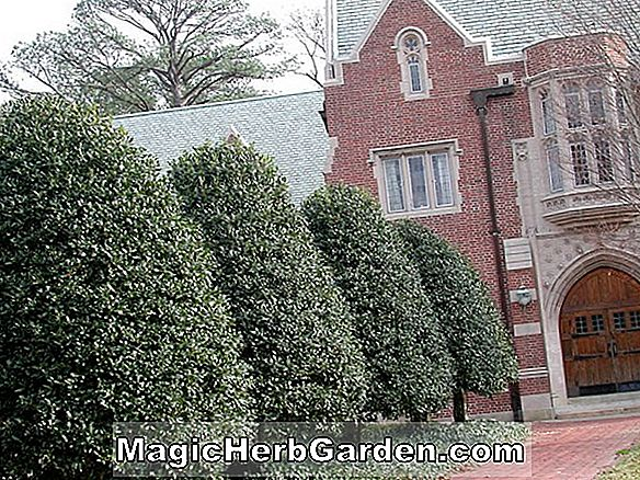 Ilex crenata (Hatfield Holly) - #2