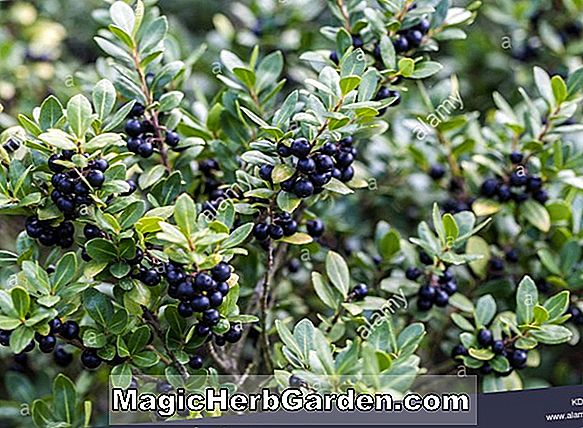 Pflanzen: Ilex crenata (Latifolia Holly)