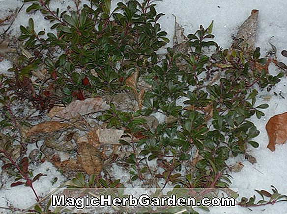 Ilex crenata (John Nash Holly) - #2