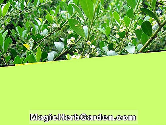 Ilex crenata (Muffin Holly) - #2