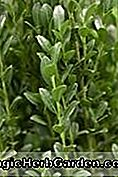 Ilex crenata (Ellipta Gold Holly)
