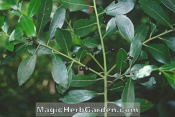 Ilex glabra (Georgia Wine Inkberry) - #2