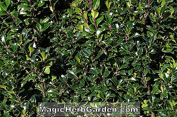 Ilex meserveae (China Mädchen Meserville Holly) - #2