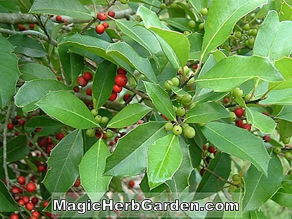 Pflanzen: Ilex Opaca (Carrie Holly) - #2
