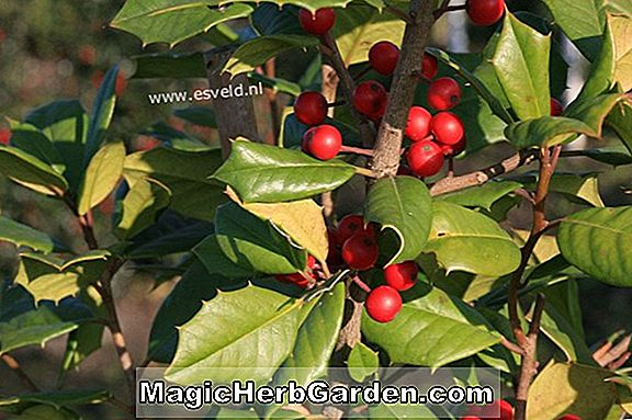 Ilex Opaca (Dias Holly)