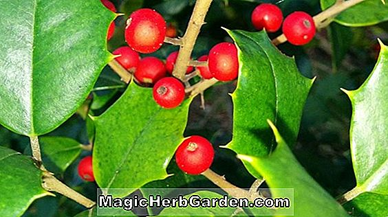 Tumbuhan: Ilex opaca (Big Red Holly)