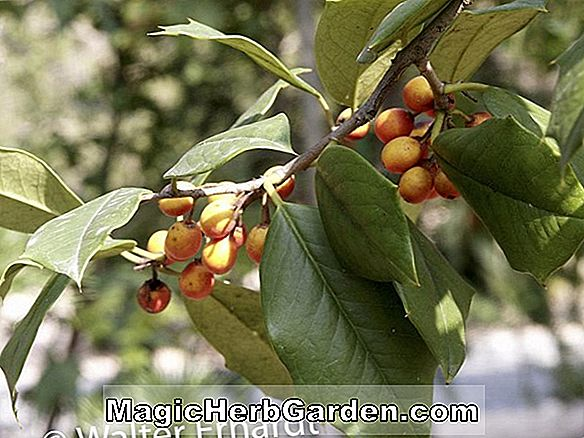 Ilex Opaca (Herbst Wein Holly) - #2