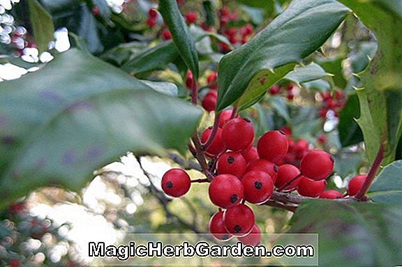 Pflanzen: Ilex Opaca (West Virginia) - #2