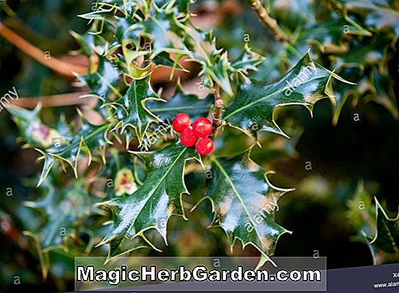 Ilex Opaca (Carolina # 2 Amerikanische Holly)