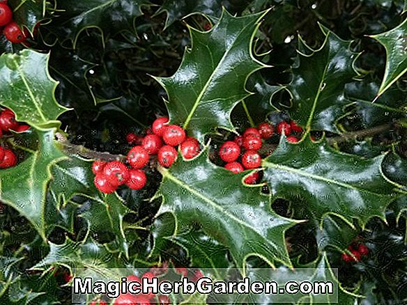 Ilex verticillata (Jolly Red Holly)