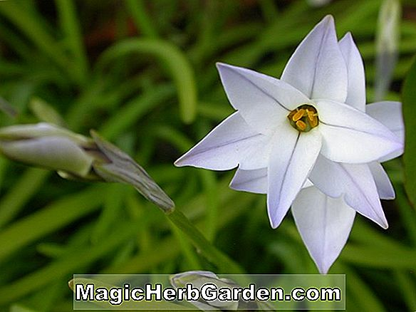 Ipheion uniflorum (Wisley Blau)