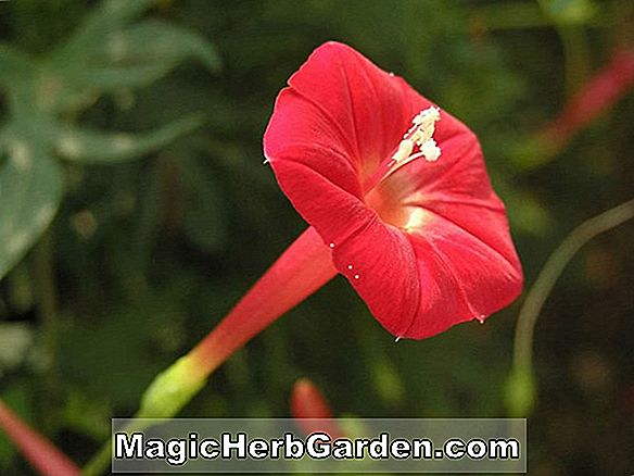 Ipomoea imperialis (Morning Glory)