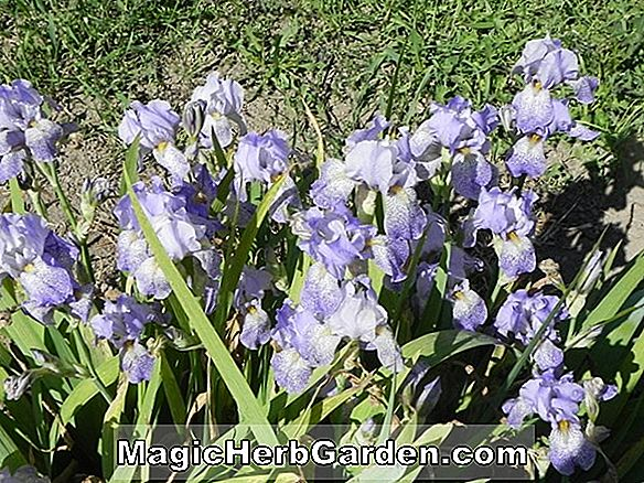 Iris (Cambridge Iris)