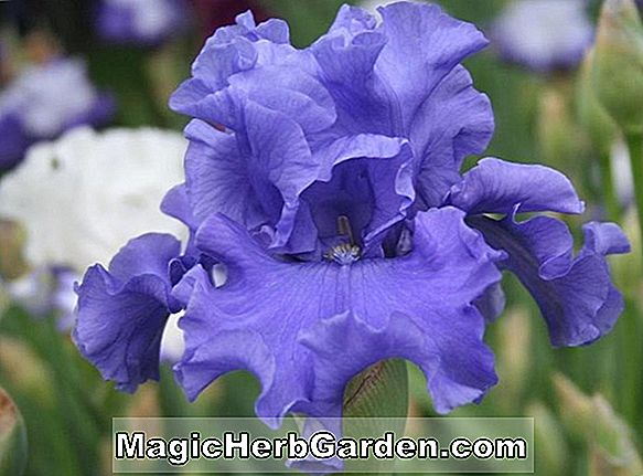 Iris (Marine Messing Iris)