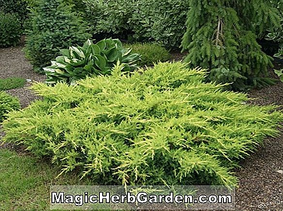 Juniperus chinensis (Sea Green chinesischer Wacholder)