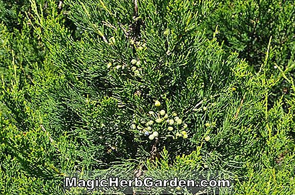 Juniperus chinensis (Fairview chinesischer Wacholder)