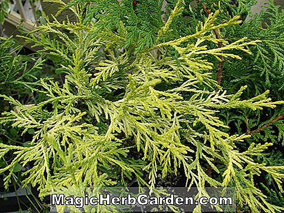 Juniperus chinensis (Gold Sovereign chinesischer Wacholder)