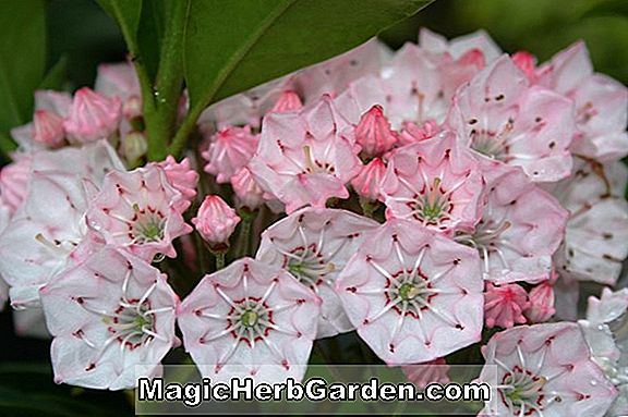 Kalmia latifolia (Lauron Rose de Sharon)