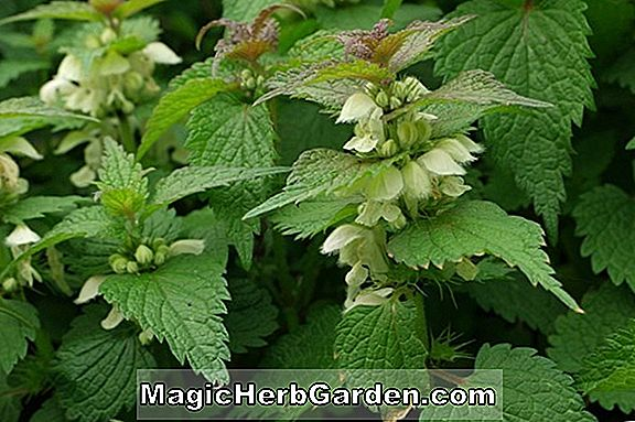 Pflanzen: Lamium-Album (Beacon Silver Deadnettle)
