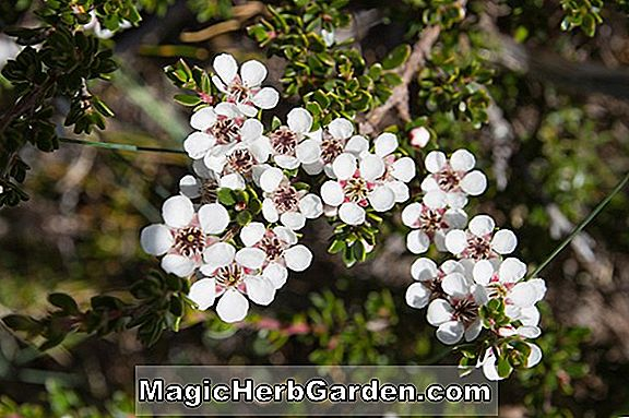 Leptospermum grandiflorum (Rodwayanum Tea Tree)
