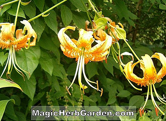 Tumbuhan: Lilium (Herald Angel Yellow Lily)