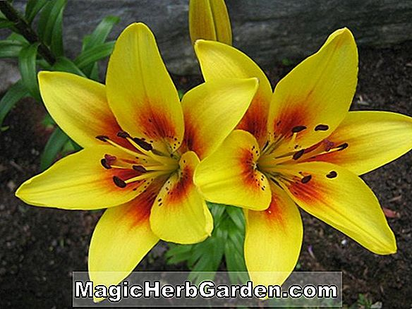 Lilium (Iowa Rose Lily)