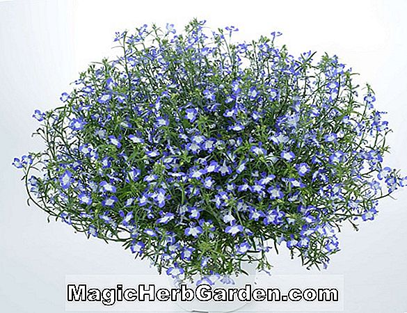 Lobelia (Twilight Zone Lobelia)