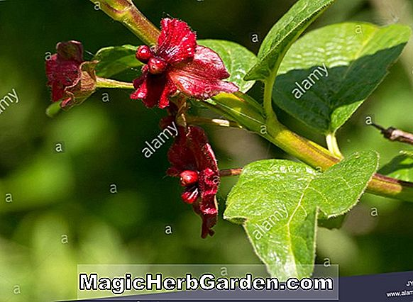 Lonicera involucrata (Twinberry Honeysuckle)