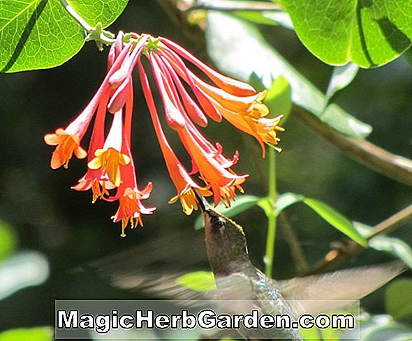 Lonicera sempervirens (Major Wheeler Honeysuckle)