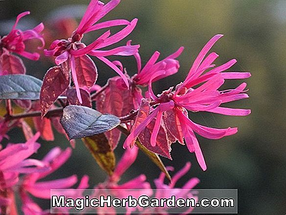 Loropetalum chinense (Razzleberry Loropetalum)