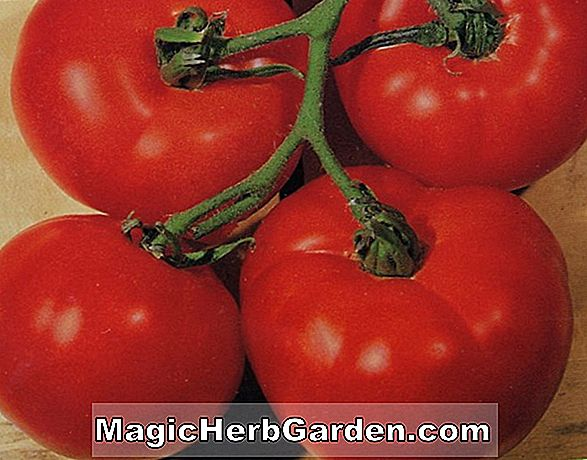 Lycopersicon esculentum (Early Boy Tomaten)